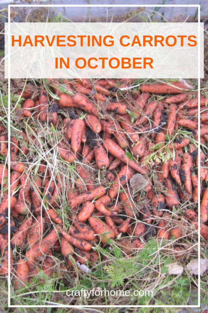 Planting carrot in a short growing season is possible, even better when early frost is coming before harvest time. #vegetablegarden #gardening tips #growingcarrots   Crafty For Home