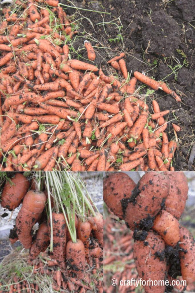 Harvesting carrots in October