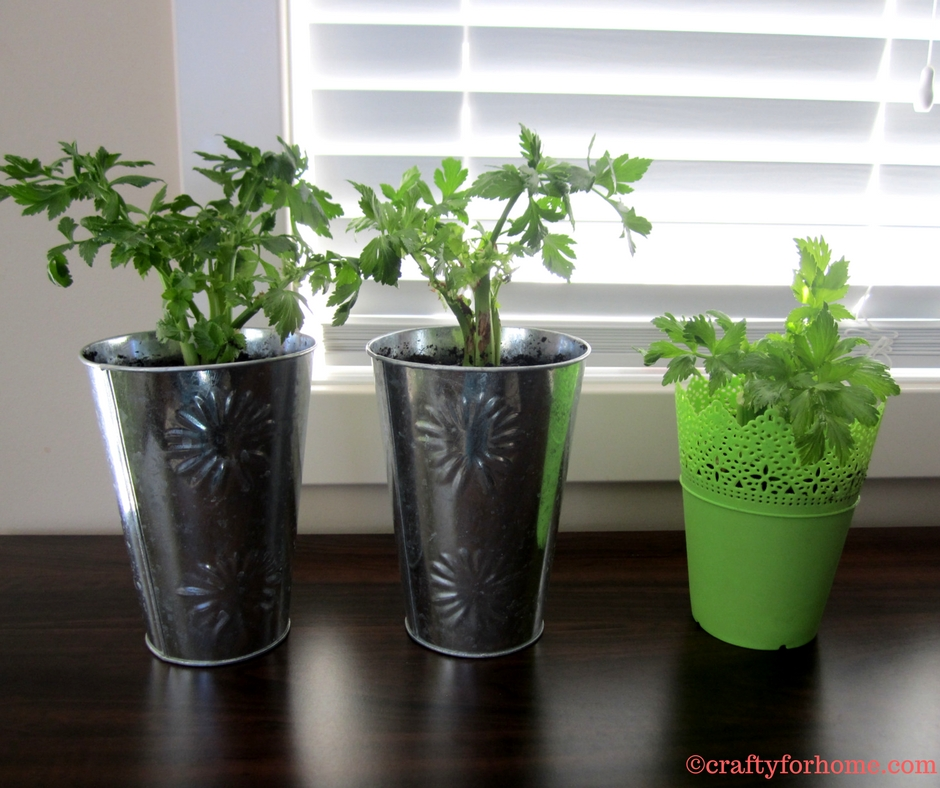 Planting Celery From Grocery Produce | Easy way to propagate celery from cuttings and make more plants for free. #propagatingcelery #growingcelery #vegetablegarden for details on www.craftyforhome.com