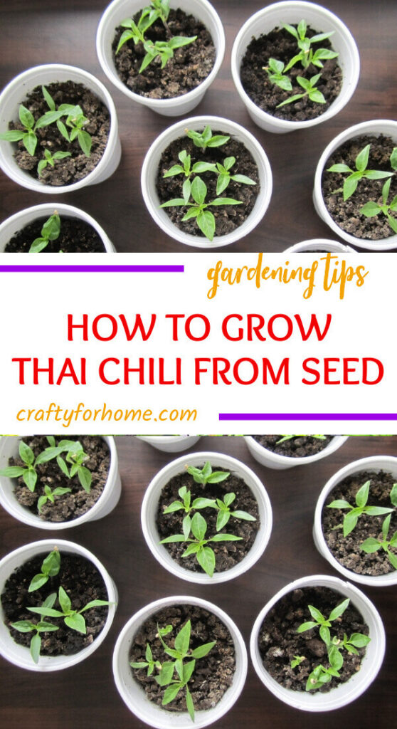 Growing Thai Chili Pepper