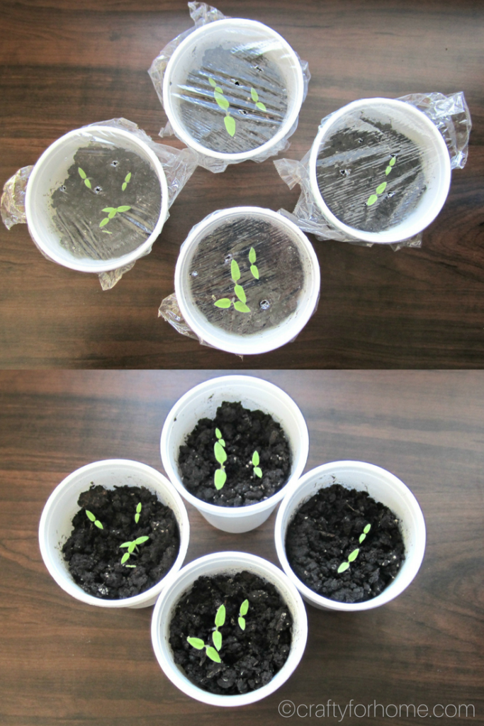 The easiest and simple way how to grow sunberry from seed indoors and get them ready to transplant into their final spot in the garden. Grow sunberry in the container if you have limited space for the garden #propagatingplant #indoorseeding#indoorgarden #containergarden #sunberry for full tutorial on craftyforhome.com