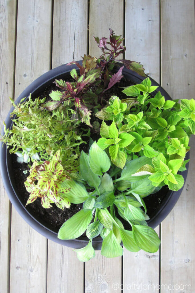 Aerial View Of Coleus In A Pot