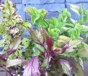 Growing Coleus In A Container