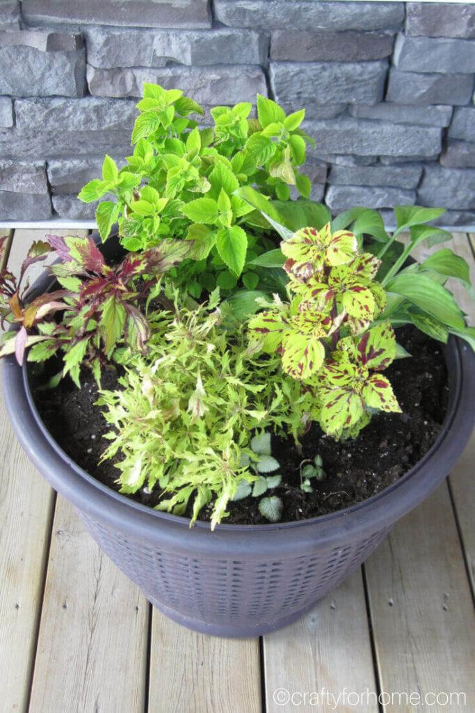 Hosta And Coleus In A Pot