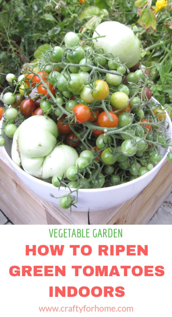 How To Ripen Green Tomatoes Indoor | Store your green tomatoes indoor at the end of growing season. Here are four tips on how to do it so you can enjoy these tomatoes later on in the fall or winter. #vegetablegarden #growingtomato #greentomato details on www.craftyforhome.com