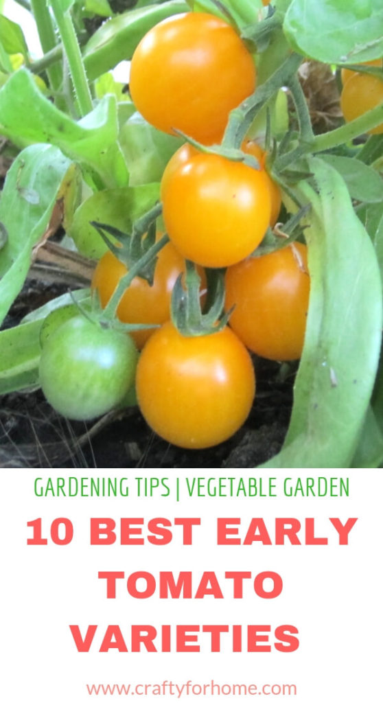 Best Early Tomato Varieties   Get early harvest tomatoes by planting these 10 fastest growing tomato varieties if you have a short growing season in your area. #growingtomato #earlygrowtomato #earlygirltomato #tomatoforcontainergarden #vegetablegarden #sungoldtomato #fastgrowingtomato for details on www.craftyforhome.com