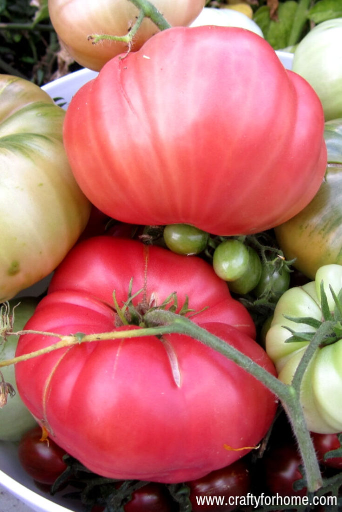Best Heirloom Tomato Varieties For Your Garden | Add heirloom tomato varieties for your garden top list this year for the juiciest and tastiest tomato ever. These tomatoes are a perfect size for slicing, salad or snack. #growingtomatoes #besttomatovarieties #heirloomtomatoseeds #bestheirloomtomatoes #indeterminatetomatovarieties #besttastingtomatoes for details on www.craftyforhome.com