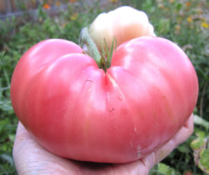 Best Heirloom Tomato Varieties For Your Garden | Add heirloom tomato varieties for your garden top list this year for the juiciest and tastiest tomato ever. These tomatoes are a perfect size for slicing, salad or snack.
