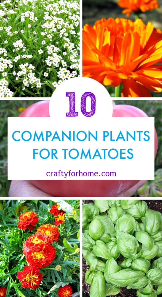 Companion Plants For Tomatoes