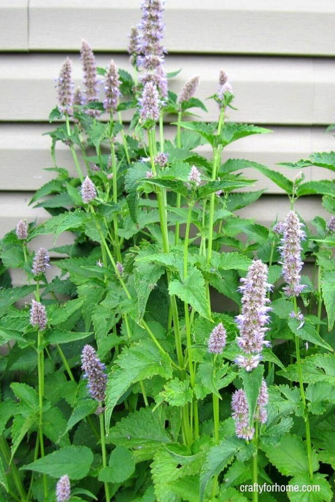 13 Easy To Grow Perennial Flowers From Seed | Plant these low care perennial flowers that bloom all summer in the full sun or partial shade from seed to save you on the budget for gardening. #gardeningtips #gardenideas #lowmaintenaceflowers #englishcottage #droughttolerantflowers #perennialflowers #perennialflowerforfullsun #perennialflowerforpartialshade for details on https://craftyforhome.com