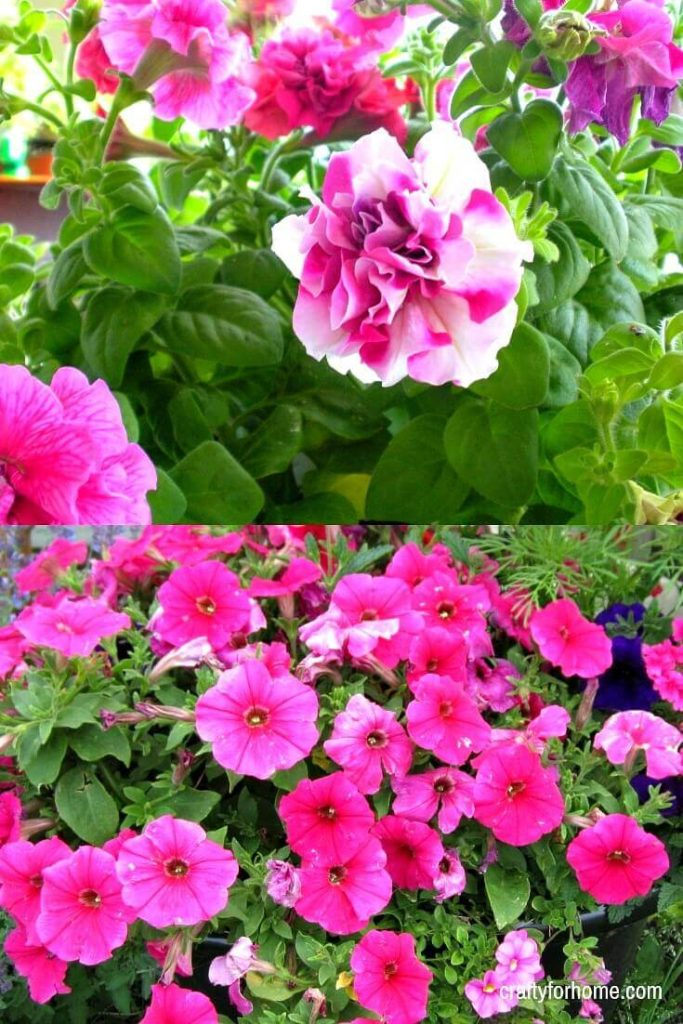 15 Easy To Grow Annual Flowers From Seed | If you are starting a garden then try these easy to grow annual flowers from seeds that will be blooming all summer long with minimal care in full sun or partial shade. #flowerforfullsun #flowerforshade #annualflowersfromseeds #annualflowersforbeds #landscapingwithannualflowers #annualflowersforborder #easyannualflowers #lowmaintenaceflowers #annualflowersforpots for details on https://craftyforhome.com