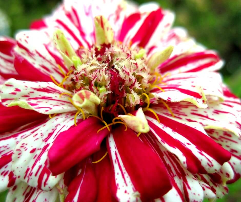 15 Easy To Grow Annual Flowers From Seed Crafty For Home