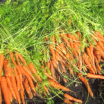 10 Best tips for growing carrots