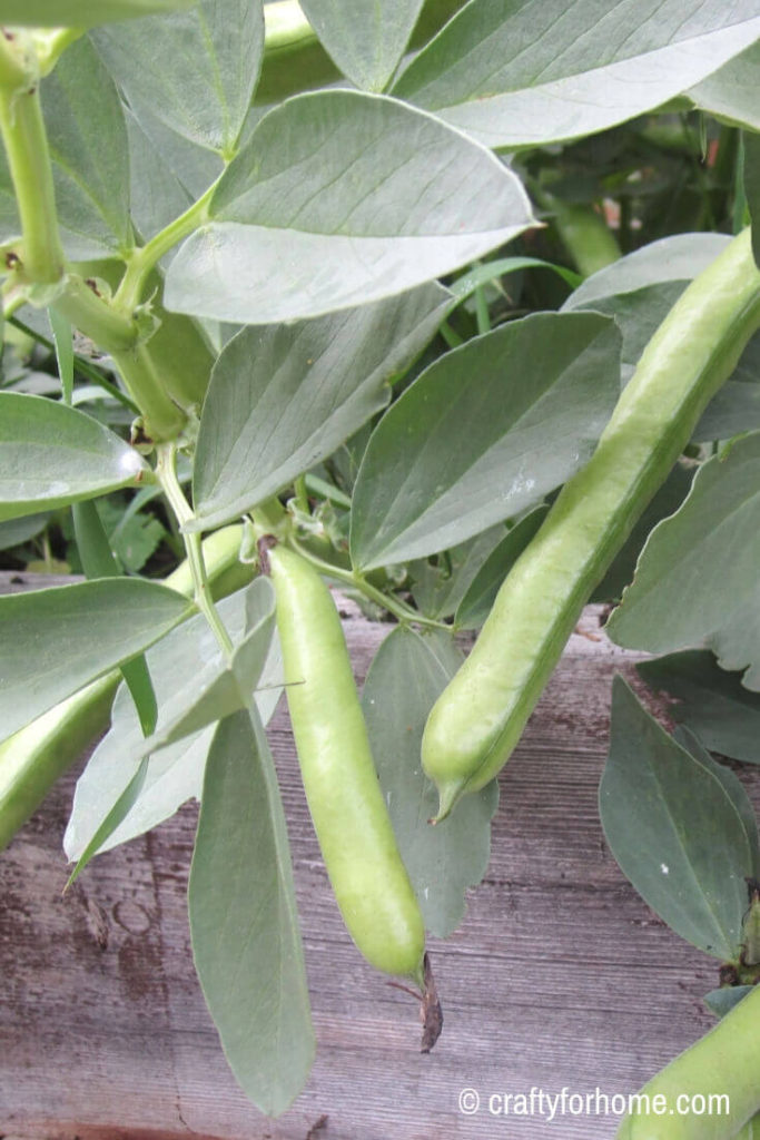 Fava Beans 20 Easy To Grow Vegetables From Seed
