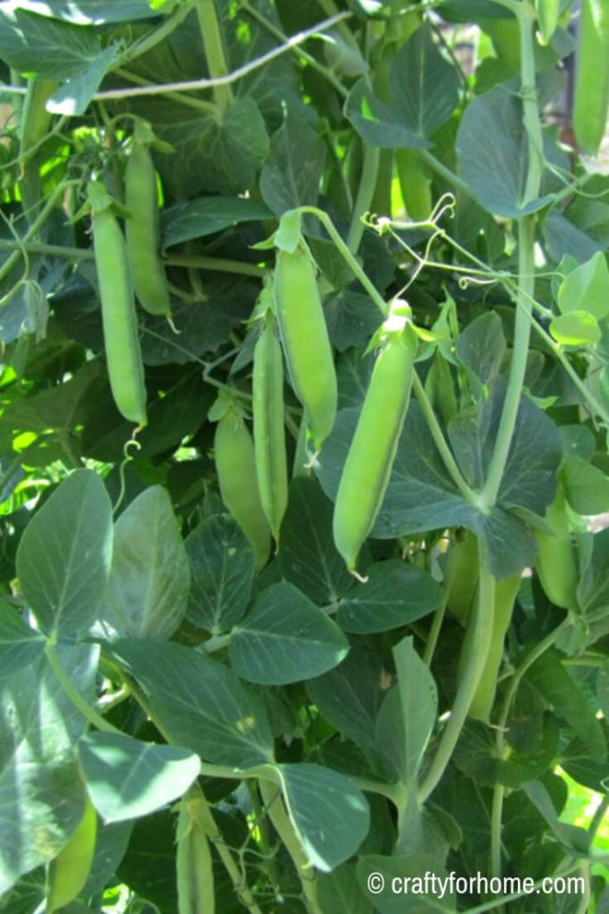 Green Peas for 20 Easy To Grow Vegetables From Seed