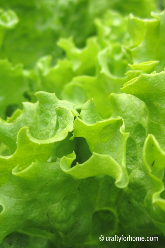 Growing lettuce in the early spring