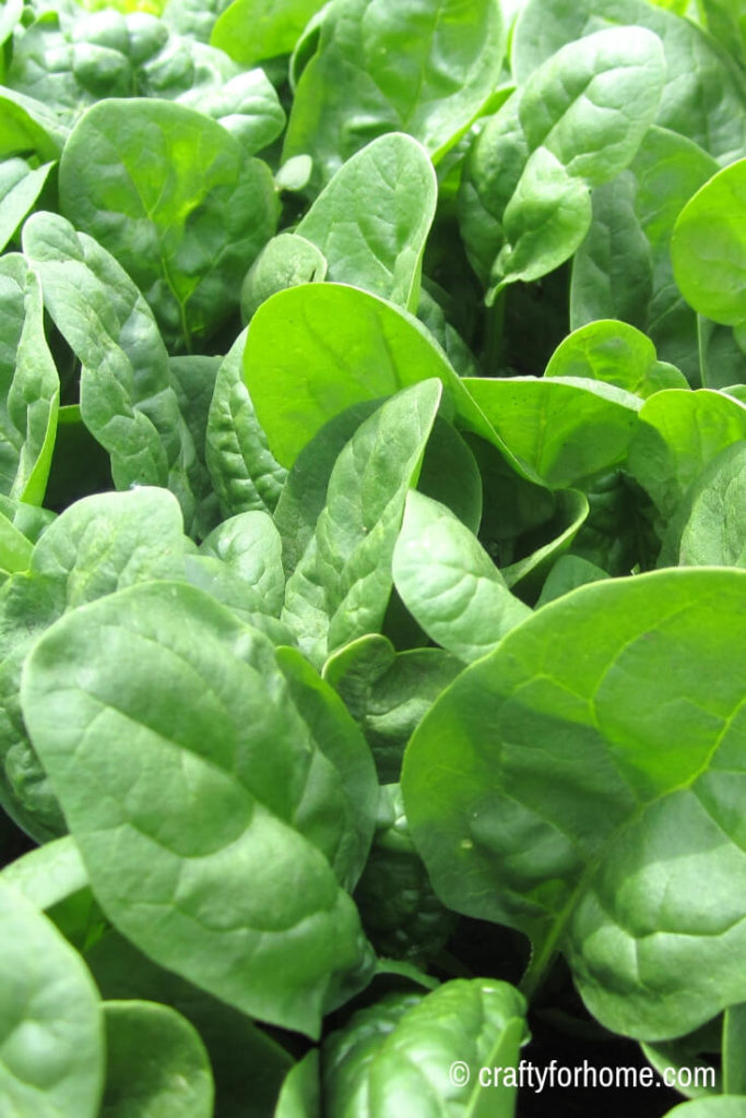 Growing spinach in the early spring