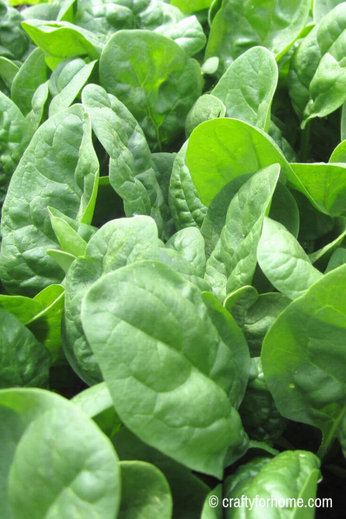 Spinach for 20 Easy To Grow Vegetables From Seed