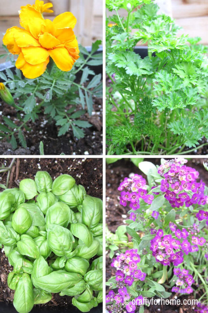 Companion Planting For Tomatoes In Containers