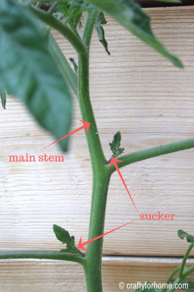 What Is Tomato Plant Suckers