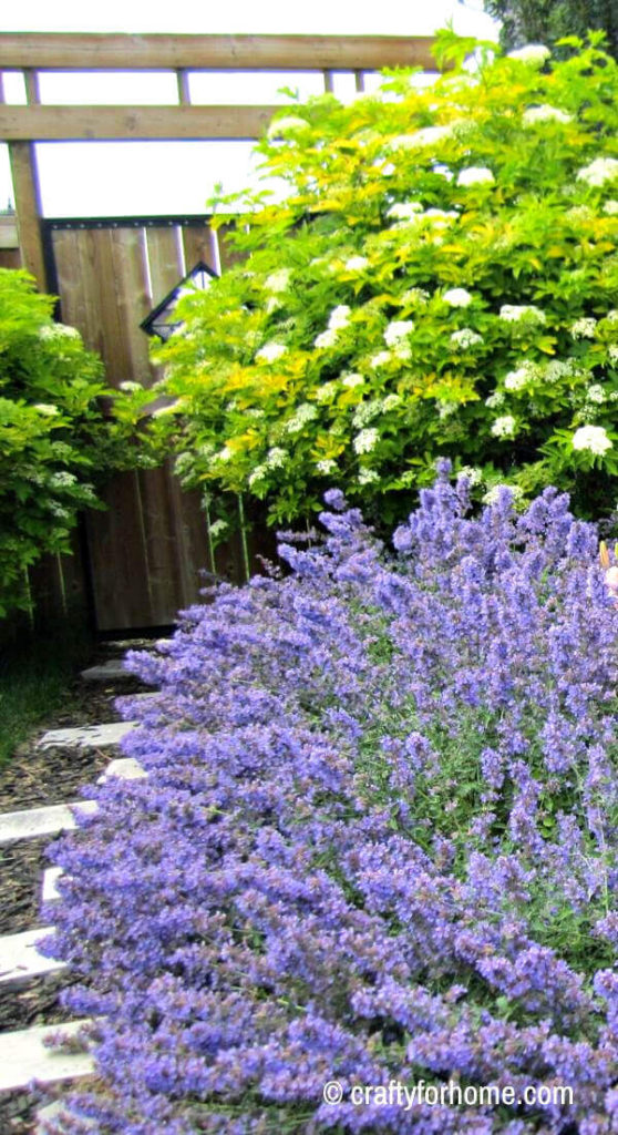 Blue Catmint And Chartreuse Elderberry