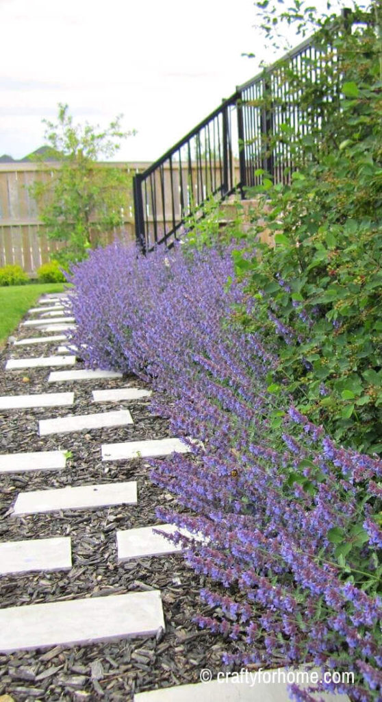 Catmint For Border Plant
