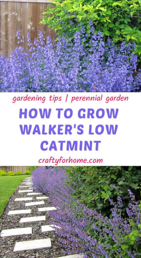 Growing Walker's Low Catmints