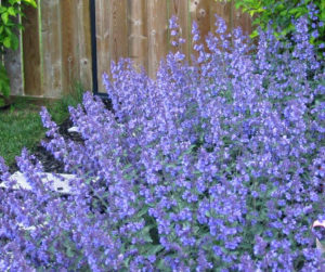How To Grow Walker's Low Catmint