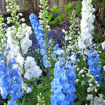 Why You Should Grow Delphinium