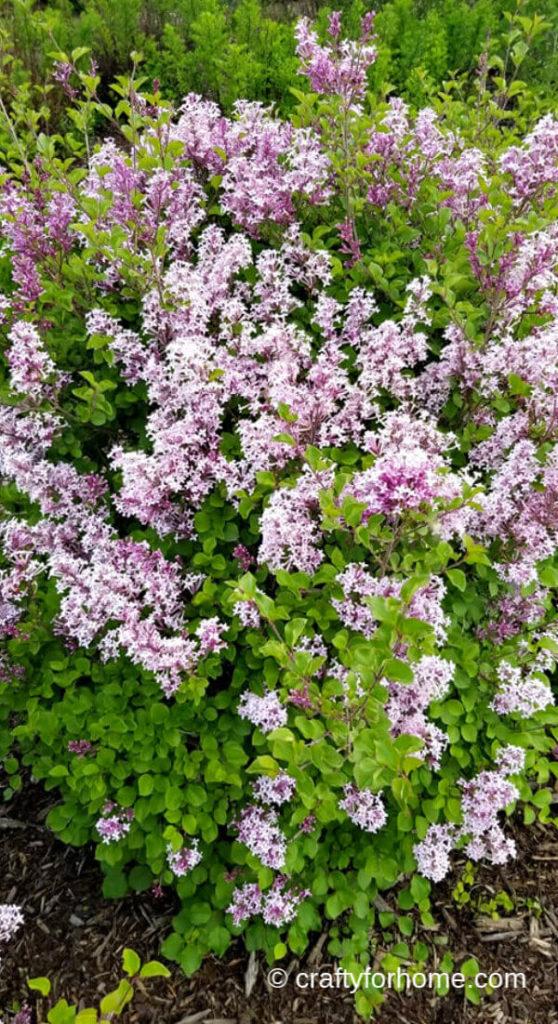 Bloomerang Lilac Flowering Shrub