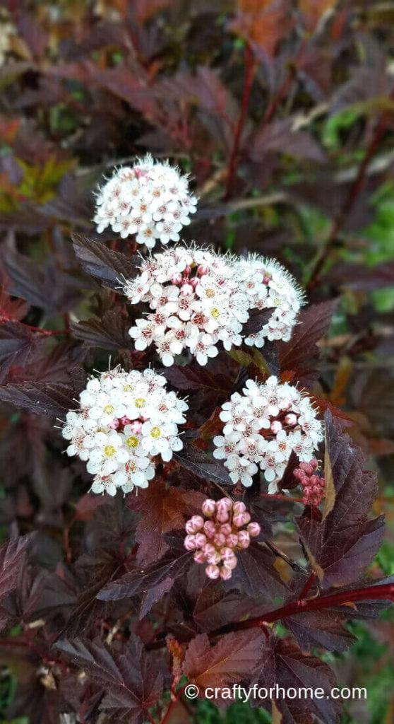 Diabolo Ninebark Flowers