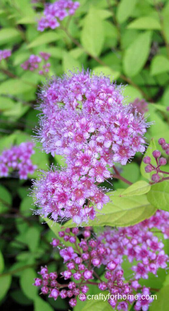 Magic Carpet Spirea Shrub Flower