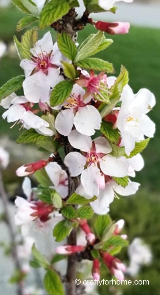 Nanking Cherry Flowers
