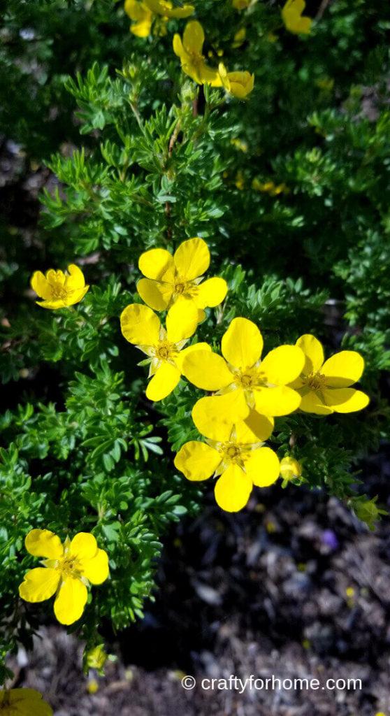 Potentilla Flower