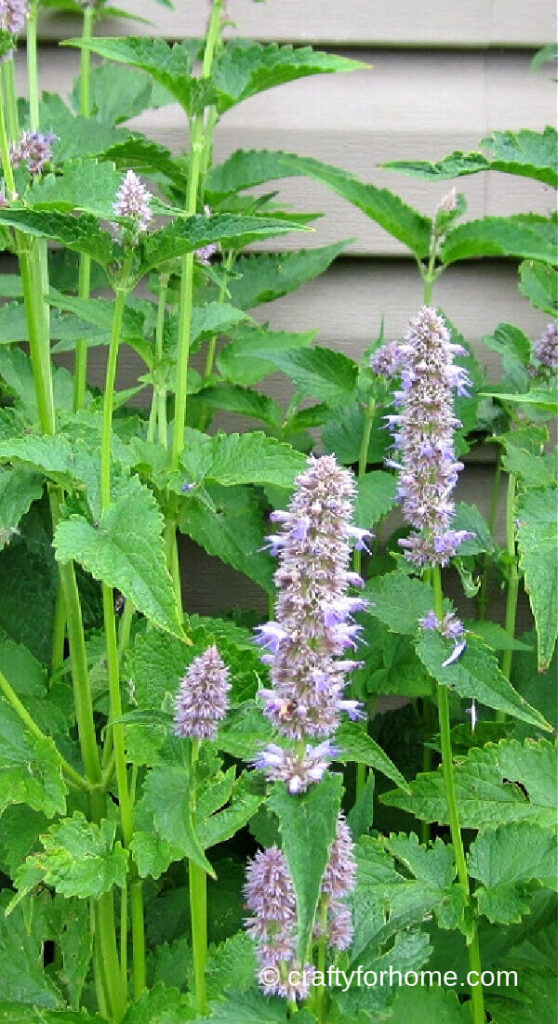 Anise Hyssop Blooming