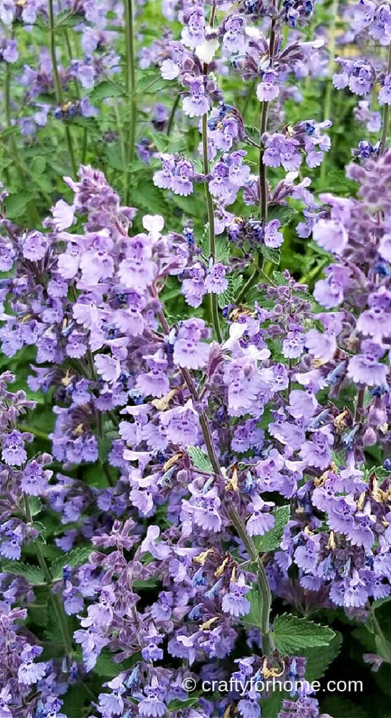 Catmint Blooming