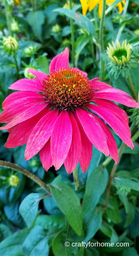 Coneflower Blooming