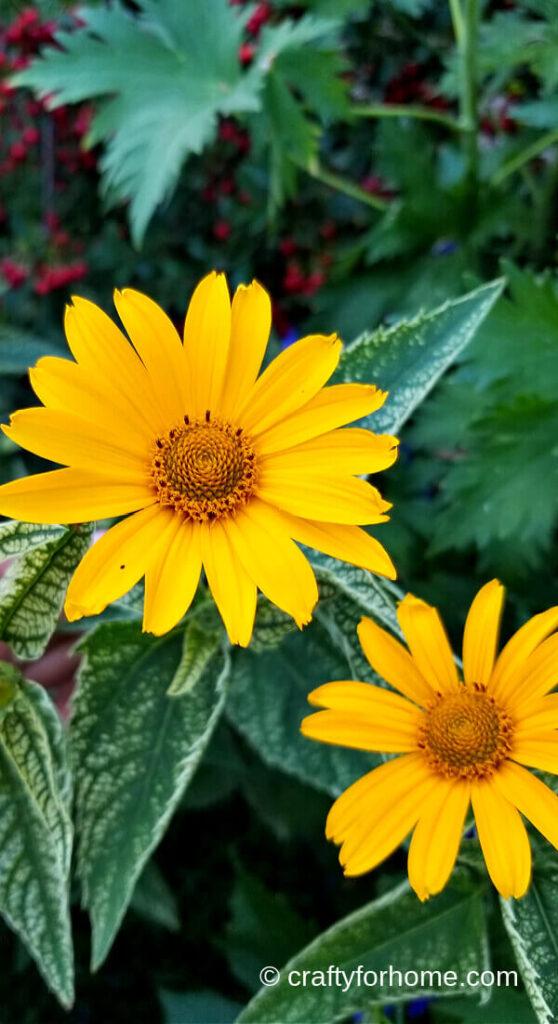 False Sunflower Blooming