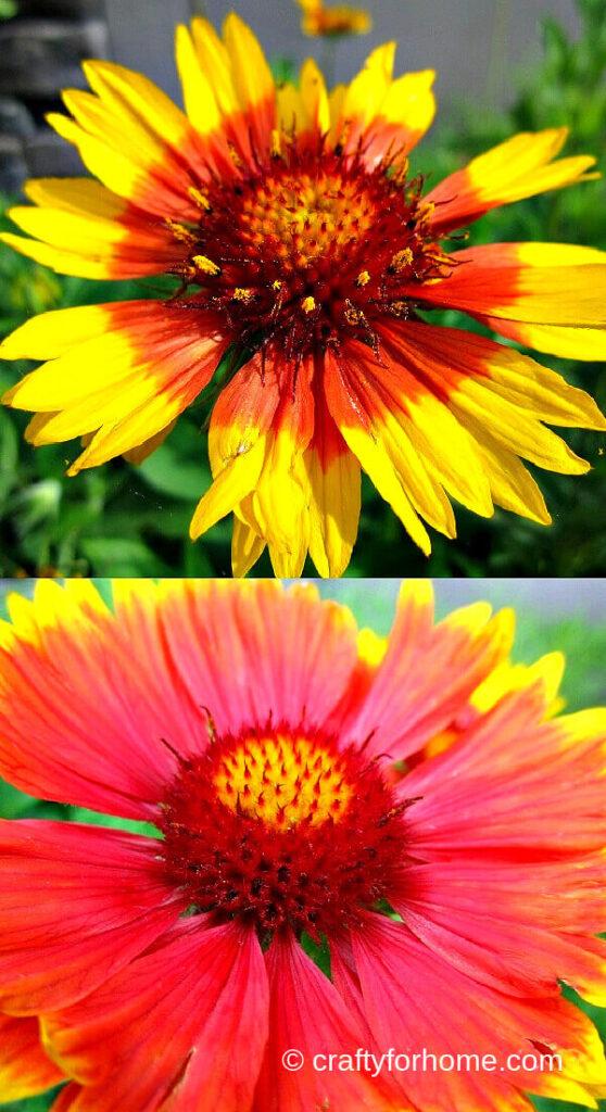Gaillardia Blooming