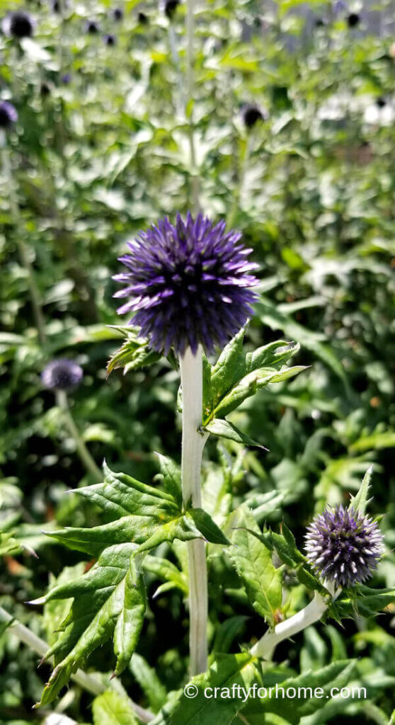 Globe Thistle Blooming