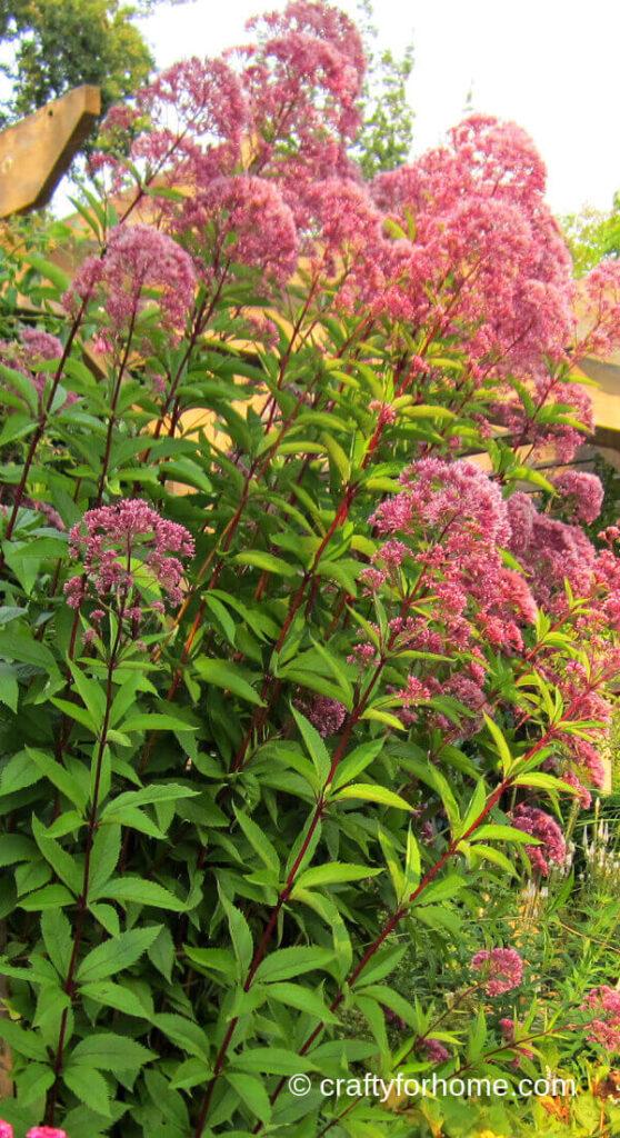 Joe Pye Weed Blooming
