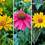 Late SUmmer Blooming Perennial Flowers