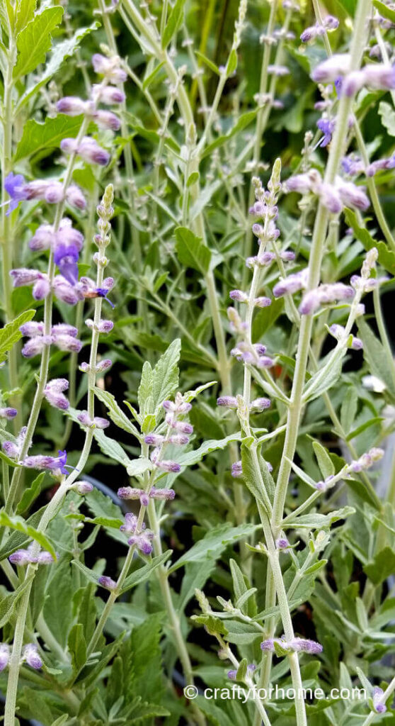 Russian Sage Blooming