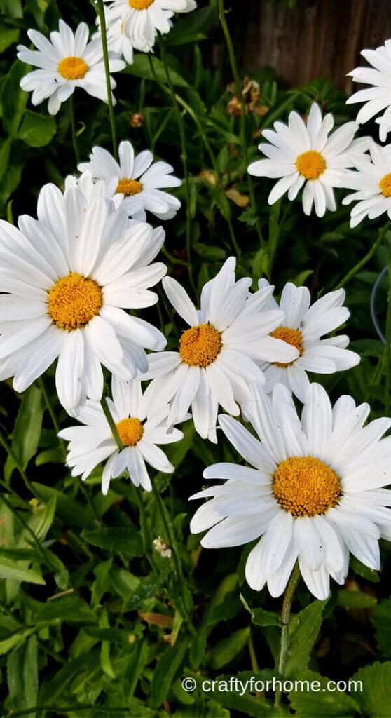 Shasta Daisy Blooming