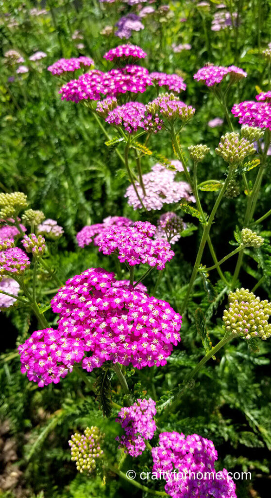 Yarrow Blooming