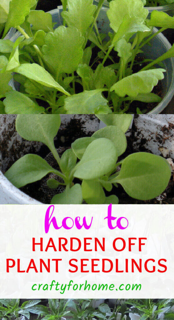 How To Harden Off Plant Seedlings