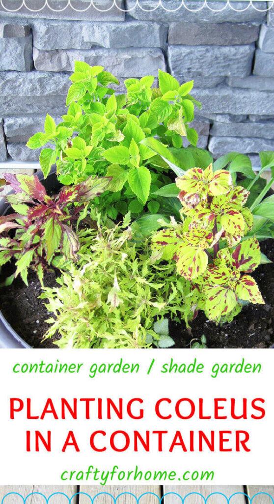 Planting Coleus In A Pot