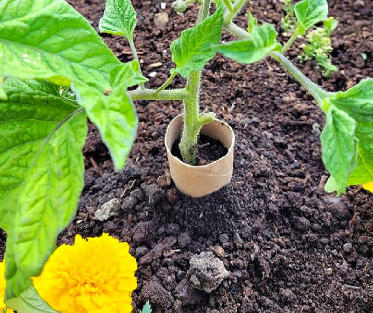 Tissue Paper Roll For Tomato Plant