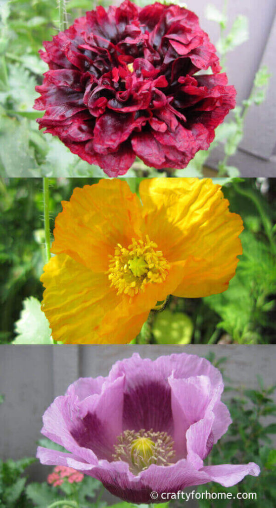 Red, yellow, and purple poppies